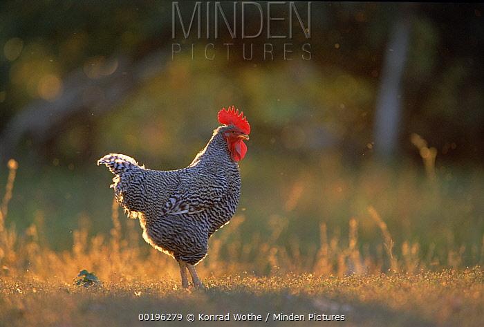 Domestic Chicken (Gallus domesticus) male, Pantanal, Brazil  -  Konrad Wothe