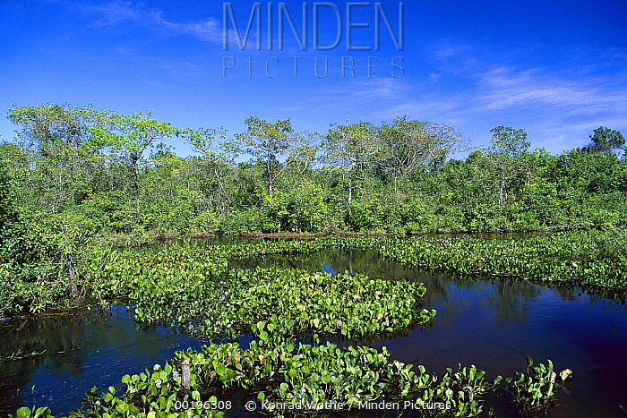 Common Water Hyacinth (Eichhornia crassipes) in Paraguay River, Pantanal, Brazil  -  Konrad Wothe