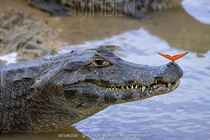 Spectacled Caiman (Caiman crocodilus) with orange butterfly perched on tip of snout, Pantanal, Mato Grosso, Brazil