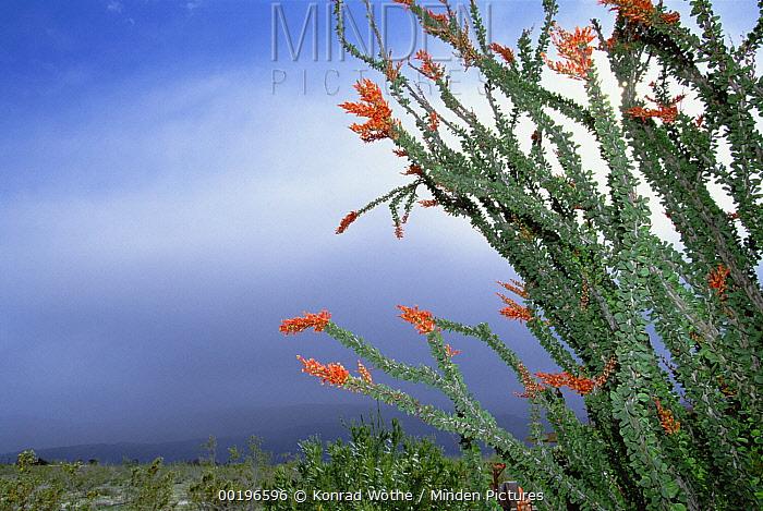 Ocotillo (Fouquieria splendens) cactus in bloom, Anza-Borrego Desert State Park, California  -  Konrad Wothe