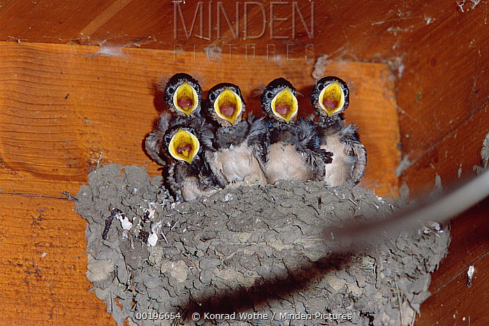 Barn Swallow (Hirundo rustica) chicks lined up in nest with their mouths open waiting for food, Germany  -  Konrad Wothe