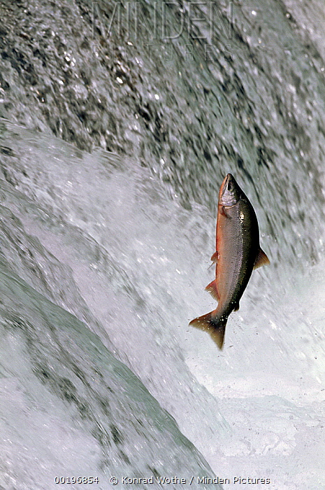 Sockeye Salmon (Oncorhynchus nerka) leaping up Brooks River Falls during spawning season, Katmai National Park, Alaska  -  Konrad Wothe