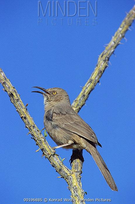Curve-billed Thrasher (Toxostoma curvirostre) singing from perch, Arizona  -  Konrad Wothe