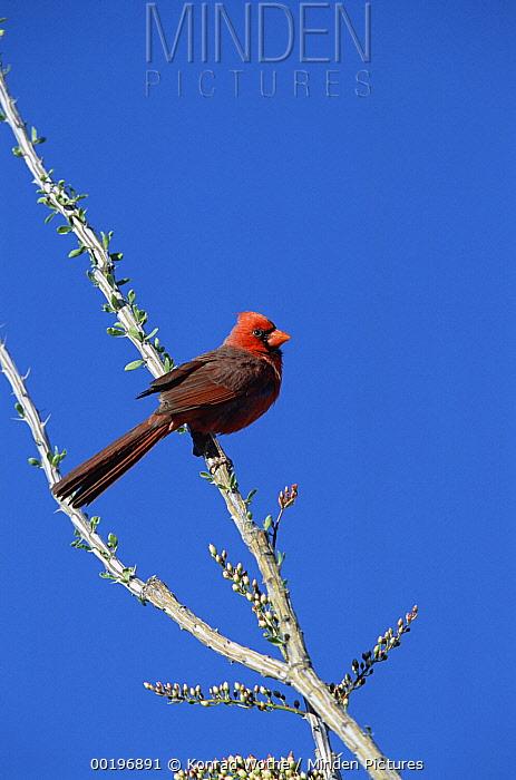 Northern Cardinal (Cardinalis cardinalis) male perching on Ocotillo Cactus, Arizona  -  Konrad Wothe