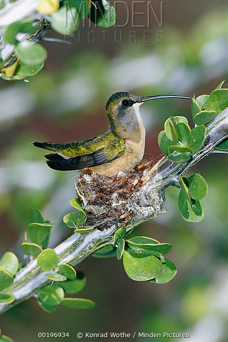 Lucifer Hummingbird (Calothorax lucifer) female incubating eggs on nest in Ocotillo Cactus, Arizona  -  Konrad Wothe