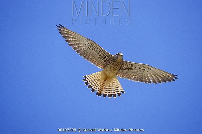 Lesser Kestrel (Falco naumanni) female flying, Turkey  -  Konrad Wothe