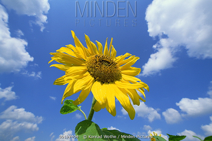 Common Sunflower (Helianthus annuus) with blue sky and clouds behind  -  Konrad Wothe