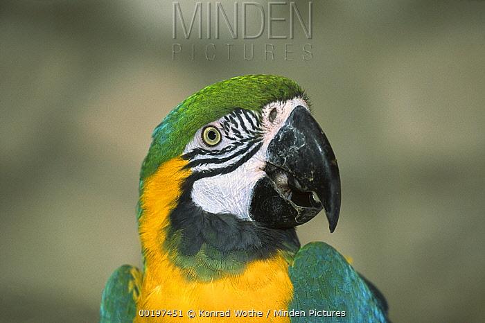Blue and Yellow Macaw (Ara ararauna) portrait  -  Konrad Wothe