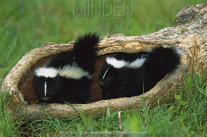 Striped Skunk (Mephitis mephitis) kit pair in a log, North America  -  Konrad Wothe