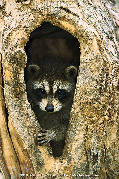 Raccoon (Procyon lotor) baby peering out from hole in tree, North America  -  Konrad Wothe