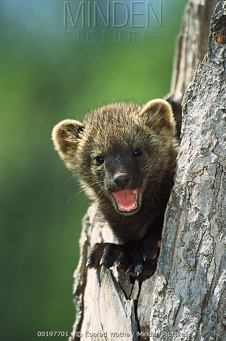 Fisher (Martes pennanti) baby calling from tree cavity, North America  -  Konrad Wothe