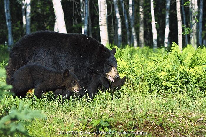 Black Bear (Ursus americanus) sow with cub in Birch (Betula sp) forest, North America  -  Konrad Wothe