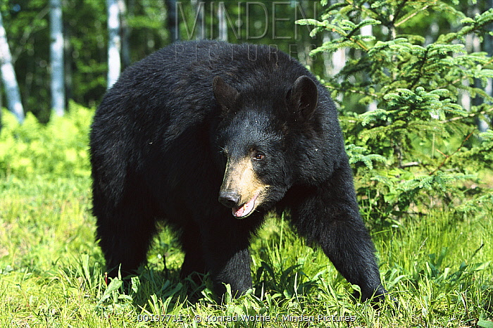 Black Bear (Ursus americanus) sow in Birch (Betula sp) forest, North America  -  Konrad Wothe