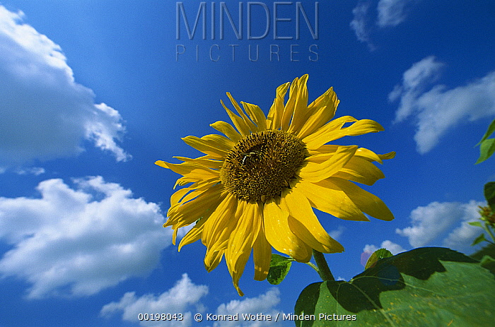 Common Sunflower (Helianthus annuus) with blue sky behind, Germany  -  Konrad Wothe