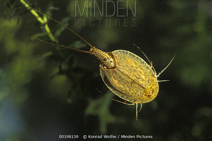 Tadpole Shrimp Triops Cancriformis Living Fossil Is Oldest Animal Species Known Underwater