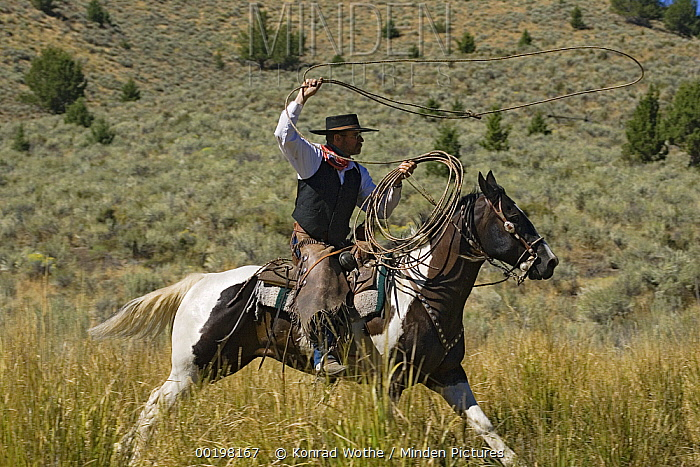 Cowboy riding Domestic Horse (Equus caballus) throwing a lasso, Oregon  -  Konrad Wothe
