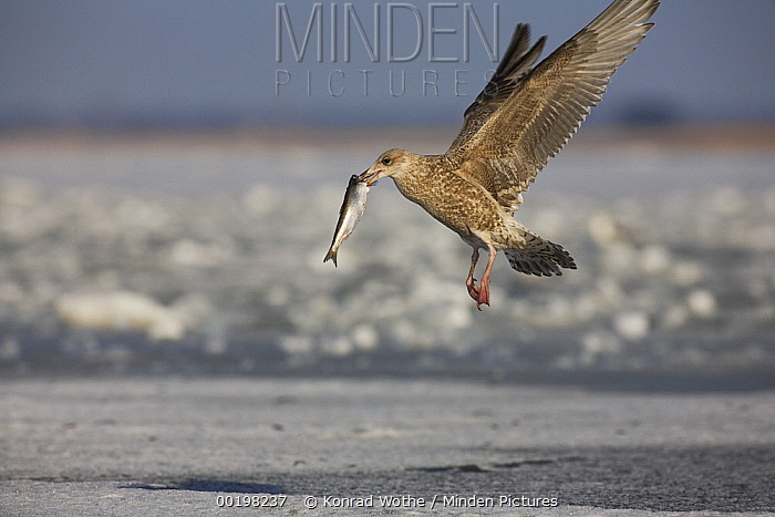 Great Black-backed Gull (Larus marinus) flying with captured fish, Baltic Sea, Germany  -  Konrad Wothe