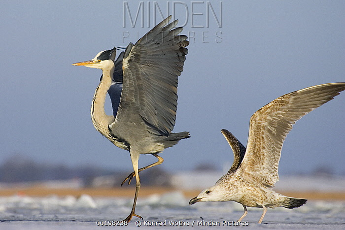 Grey Heron (Ardea cinerea) and young Great Black-backed Gull (Larus marinus), Usedom, Germany  -  Konrad Wothe