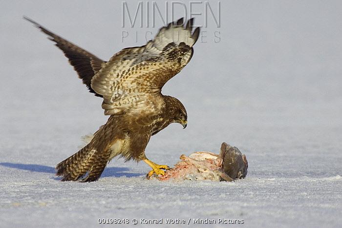 Common Buzzard (Buteo buteo) feeding on fish, Germany  -  Konrad Wothe