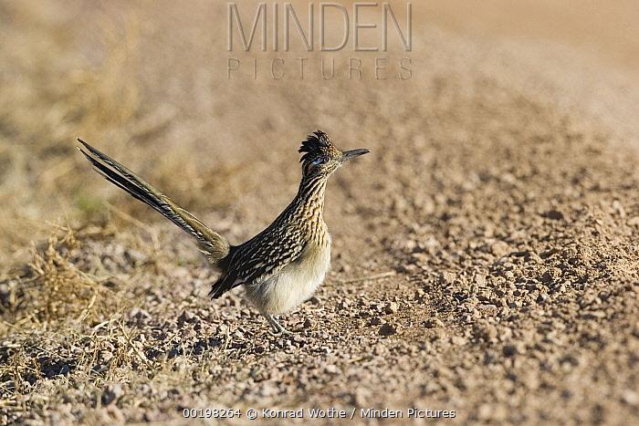 Greater Roadrunner (Geococcyx californianus) beside dirt road, New Mexico  -  Konrad Wothe