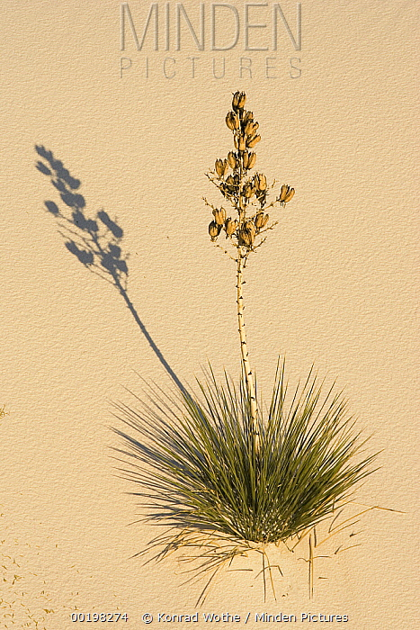 Soaptree Yucca (Yucca elata) in gypsum sand, White Sands National Monument, New Mexico  -  Konrad Wothe