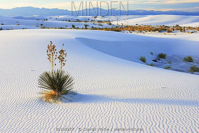 Soaptree Yucca (Yucca elata) growing in gypsum sand, White Sands National Monument, New Mexico  -  Konrad Wothe