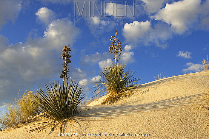 Soaptree Yucca (Yucca elata) pair growing in gypsum sand, White Sands National Monument, New Mexico  -  Konrad Wothe