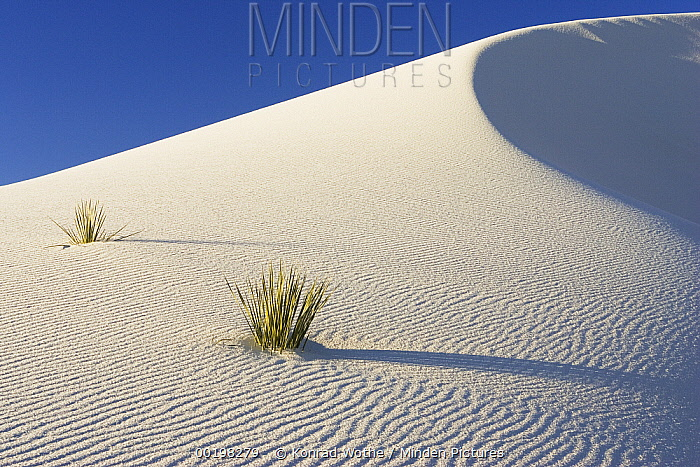 Yuccas growing in gypsum sand dunes, White Sands National Monument, New Mexico  -  Konrad Wothe