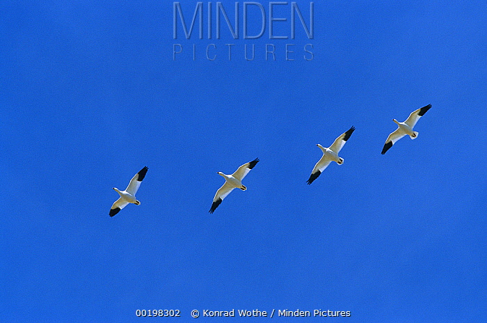 Snow Goose (Chen caerulescens) flock flying during migration, Bosque del Apache National Wildlife Refuge, New Mexico  -  Konrad Wothe