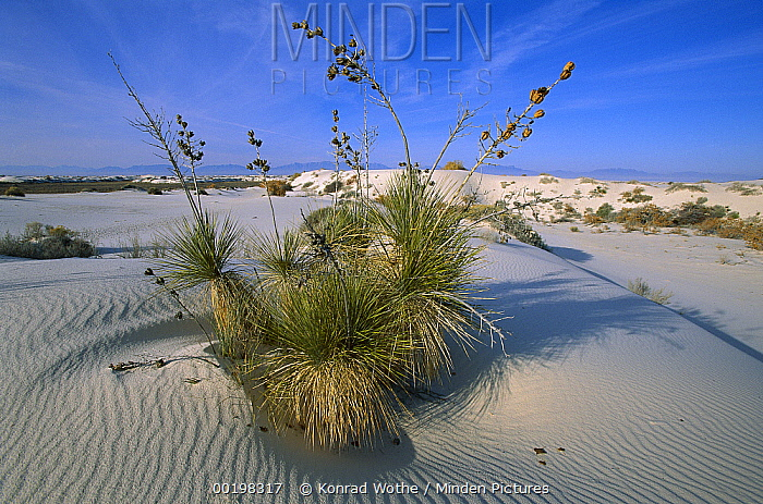 Soaptree Yucca (Yucca elata) growing in gypsum sand dunes, White Sands National Monument, Chihuahua Desert, New Mexico  -  Konrad Wothe