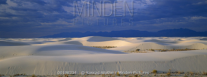 Soaptree Yucca (Yucca elata) growing in Gypsum Dunes, White Sands National Monument, Chihuahua Desert, New Mexico  -  Konrad Wothe