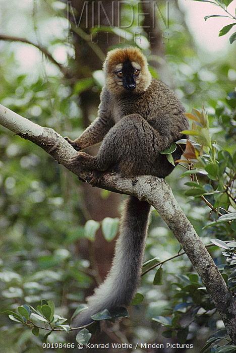 Red-fronted Brown Lemur (Eulemur fulvus rufus) male, Madagascar  -  Konrad Wothe