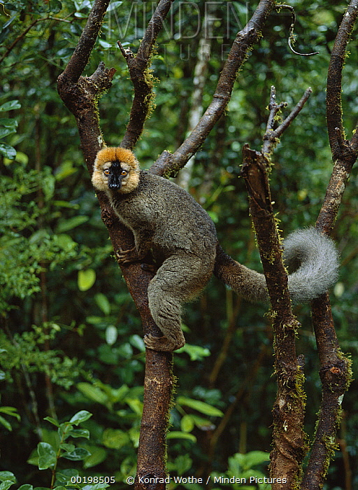 Red-fronted Brown Lemur (Eulemur fulvus rufus) male, Ranomafana National Park, Madagascar  -  Konrad Wothe