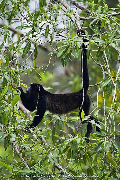 Mantled Howler Monkey (Alouatta palliata) in trees, Braulio Carrillo National Park, Costa Rica  -  Konrad Wothe