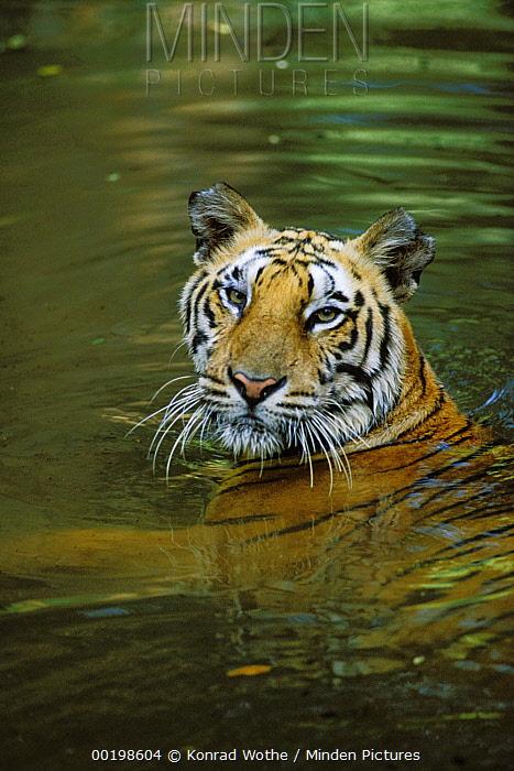 Bengal Tiger (Panthera tigris tigris) in water, endangered species native to India  -  Konrad Wothe