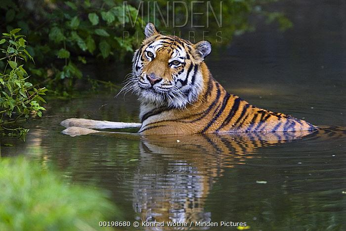 Siberian Tiger (Panthera tigris altaica) bathing, native to Siberia  -  Konrad Wothe