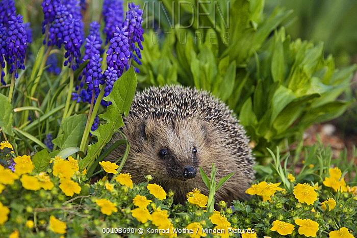 Brown-breasted Hedgehog (Erinaceus europaeus) in spring flowers, Bavaria, Germany  -  Konrad Wothe