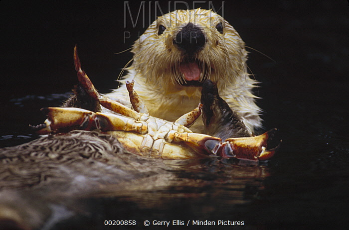 Sea Otter (Enhydra lutris) female feeding on crab, North America