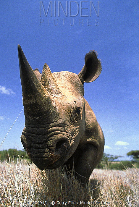 Black Rhinoceros (Diceros bicornis) portrait, Lewa Wildlife Conservation Area, Kenya  -  Gerry Ellis