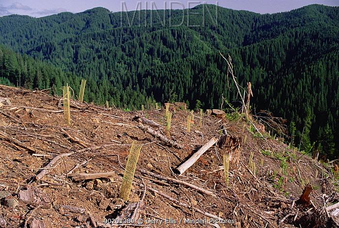 Replant of Douglas Fir (Pseudotsuga menziesii) in clearcut, Suislaw National Forest, Oregon  -  Gerry Ellis