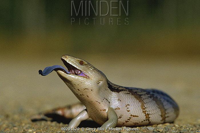 Eastern Blue-tongue Skink (Tiliqua scincoides) extending blue tongue, Australia  -  Gerry Ellis