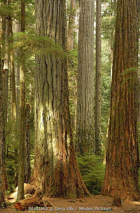 Douglas Fir (Pseudotsuga menziesii) old growth, Cathedral Grove, Vancouver Island, British Columbia, Canada  -  Gerry Ellis