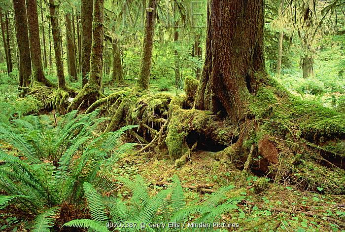 Nurse log stage five temperate rainforest, Olympic National Park, Washington  -  Gerry Ellis