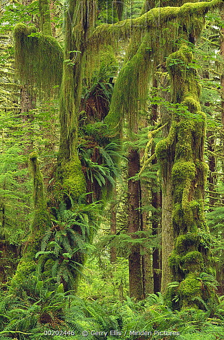 Temperate rainforest with moss covered trees and ferns, Queets River Valley, Olympic National Park, Washington