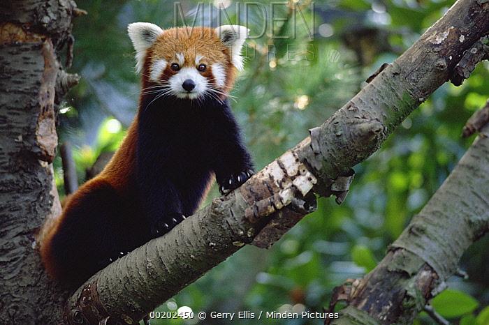 Lesser Panda (Ailurus fulgens) sitting on tree limb, China, Nepal, Burma  -  Gerry Ellis