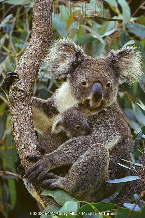 Koala (Phascolarctos cinereus) mother and joey, three month old, Australia