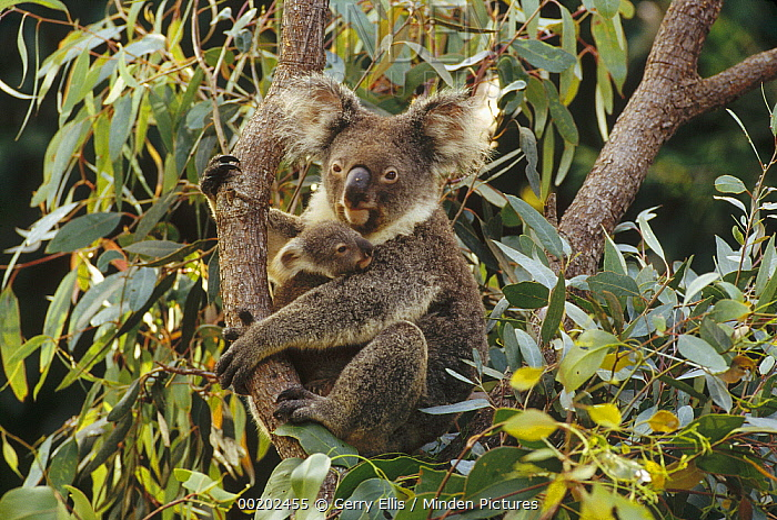 Koala (Phascolarctos cinereus) mother and three month old joey in tree, Australia