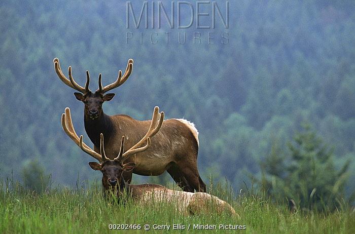 Elk (Cervus elaphus) pair with conifer forest in background, western North America