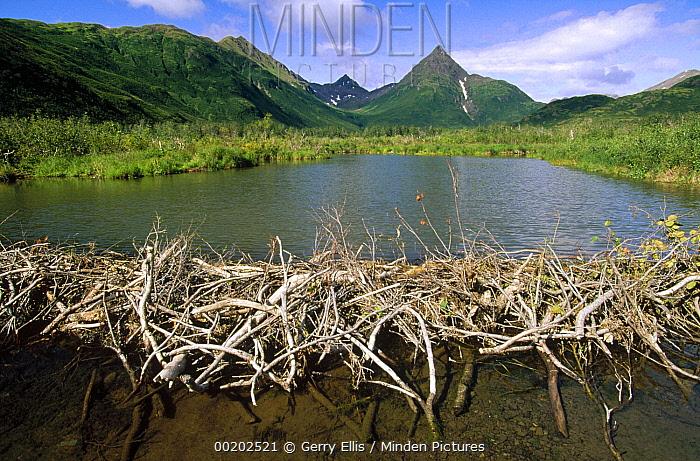Horn Minden minden pictures stock photos beaver castor canadensis