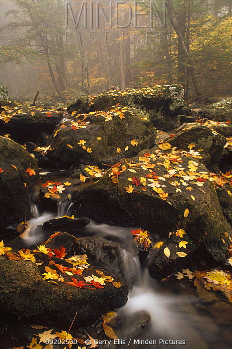 Colorful fall leaves around Hunting Creek, eastern hardwood forest, Catoctin Mountain Park, Maryland  -  Gerry Ellis
